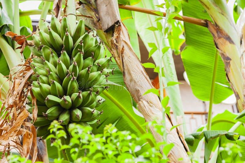 Les bananes de bébé se développent sur un palmier dans la rue d'Acitrezza, Catane, Sicile, Italie images stock