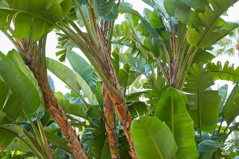 Les bananiers, vert frais part du fond de texture photo stock