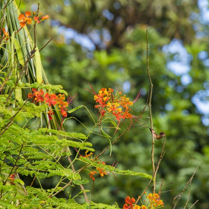Les Barbade se glorifient ou la fleur de paon images libres de droits