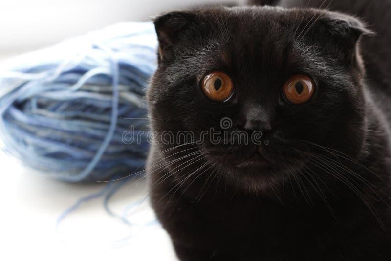 Les beaux écossais noirs plient le chat regardant au côté pensée images stock