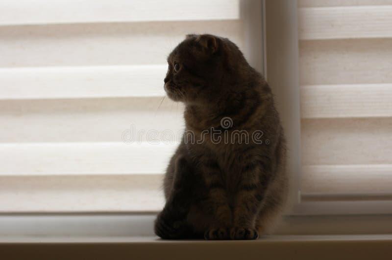 Les beaux écossais plient le chat gris se reposant sur le filon-couche de fenêtre photo libre de droits