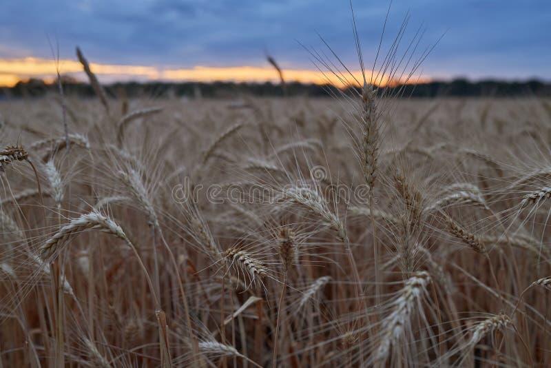 Les beaux épillets du blé mûr se développent sur un champ le soir au coucher du soleil photo libre de droits