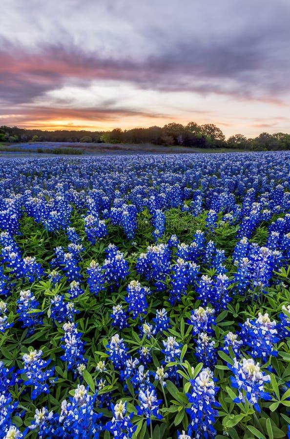 Les beaux Bluebonnets mettent en place au coucher du soleil près d'Austin, le Texas dans le spri images libres de droits