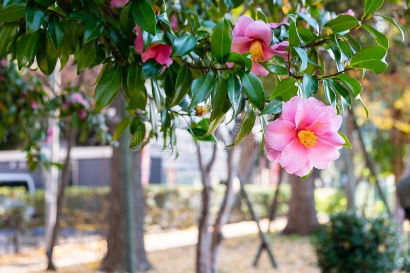 Les beaux camélias roses fleurissent sur les arbres dans le jardin photos stock