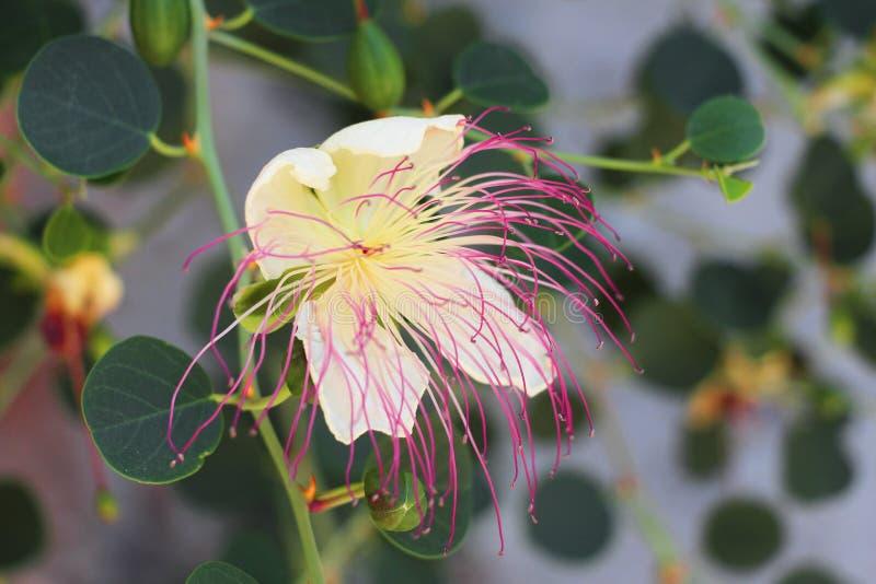 Les beaux capparaceae roses blancs fleurissent le fond image stock