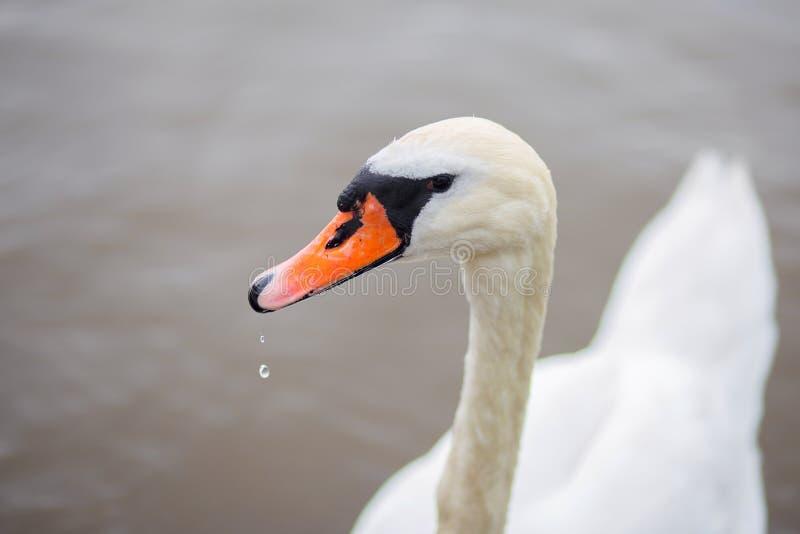 Les beaux flotteurs blancs de cygne sur l'eau dans le lac T?te d'une fin d'oiseau image libre de droits