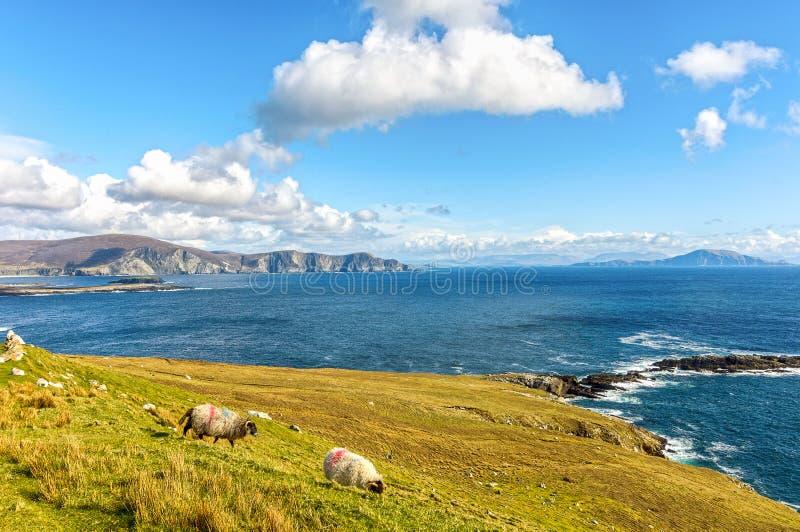 Les beaux moutons irlandais ruraux de nature de pays aménagent en parc du au nord-ouest de l'Irlande image libre de droits