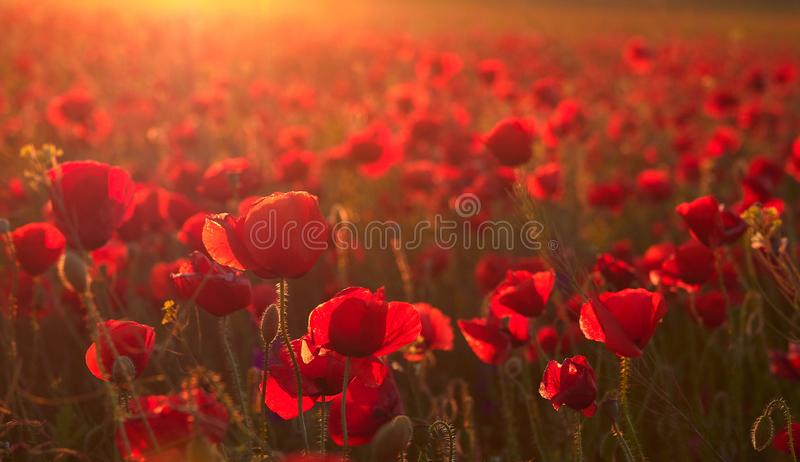 Les beaux pavots de floraison dans le coucher du soleil d'été s'allument photo stock