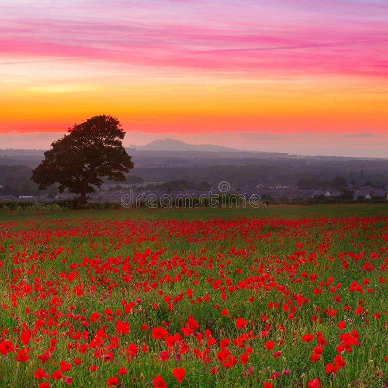 Les beaux pavots rouges mettent en place le paysage avec le ciel coloré de coucher du soleil image libre de droits