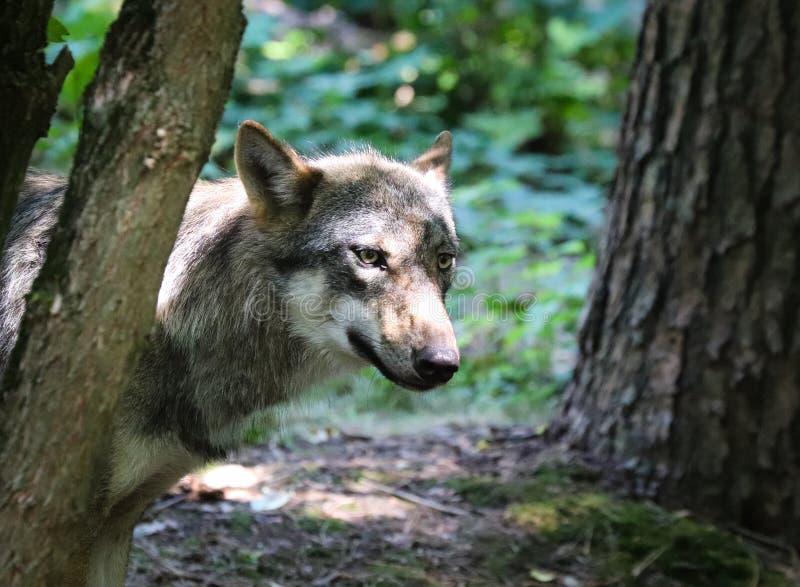 Les beaux yeux d'un loup gris photos libres de droits
