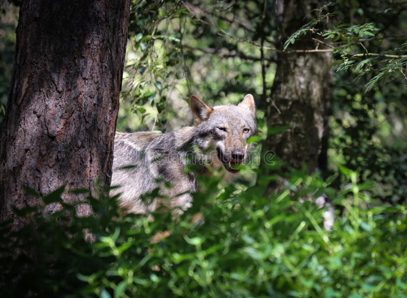 Les beaux yeux d'un loup gris photographie stock