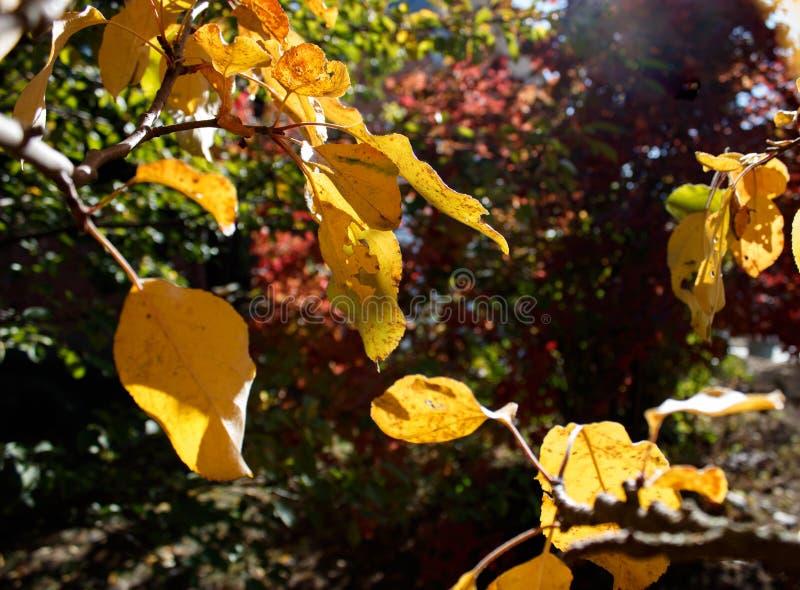 Les belles feuilles d'automne dans le jardin photo libre de droits