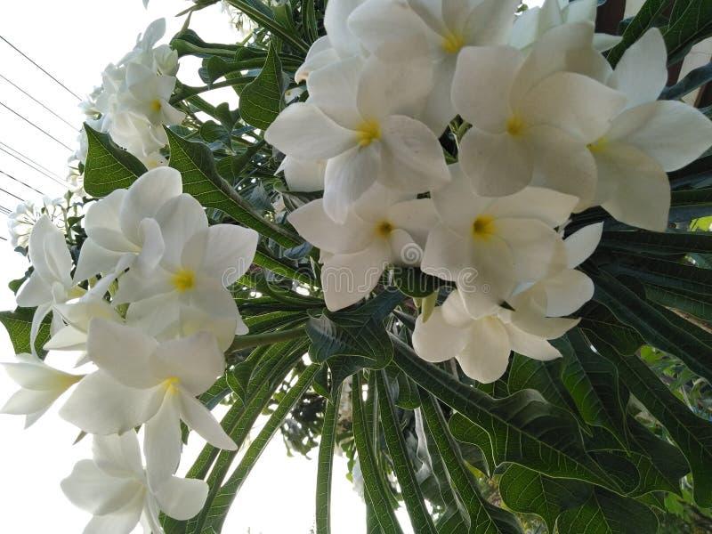 les belles fleurs dans le jardin en Indonésie, le 11 juillet 2019 photo stock