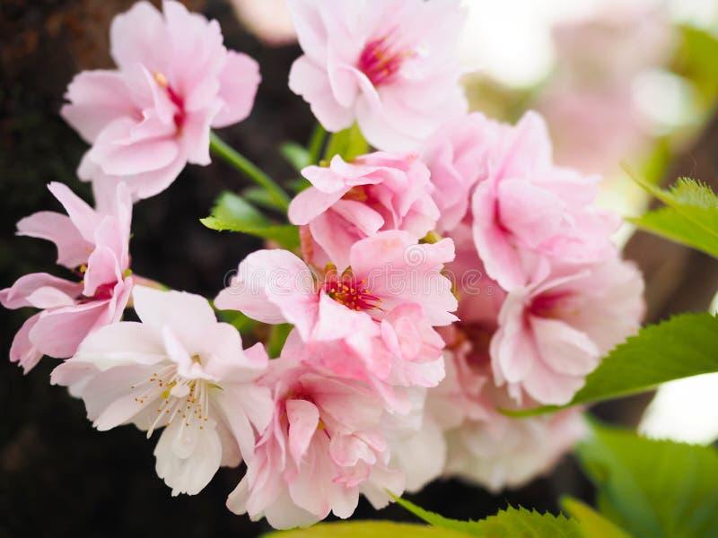 Les belles fleurs de cerisier attirent des touristes au Japon photo libre de droits
