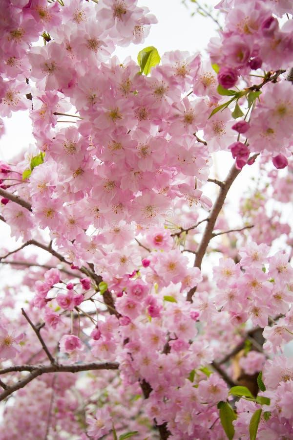 Les belles fleurs de cerisier roses chez Sumida se garent, Taito-ku, Tokyo, Japon au printemps image stock
