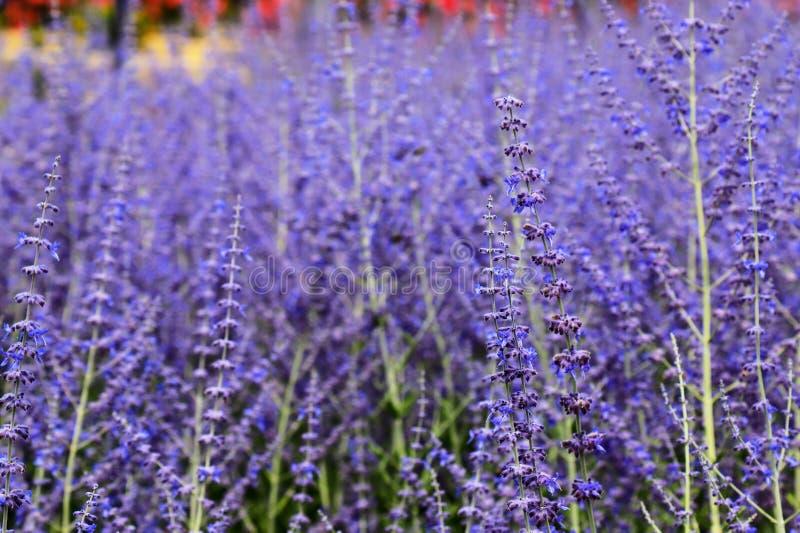 Les belles fleurs de lavande fleurissent dans le jardin en été, fond de lavande, parfumerie Buissons d'aromatique pourpre de lava images libres de droits