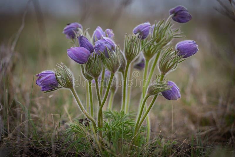 Les belles fleurs de premier ressort est le Pasqueflower noir ou petit - ssp de pratensis de Pulsatilla nigricans, Hongrie photos stock