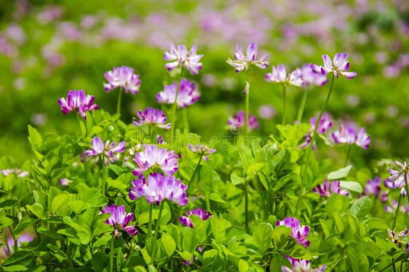 Les belles fleurs de smicus d'astragale au printemps image stock