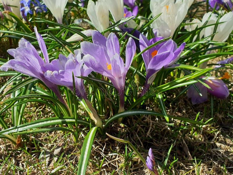 Les belles fleurs jaillissent d'abord crocus dans le lilas de parc et couleur blanche sur le fond floral de nature de belle fleur image stock