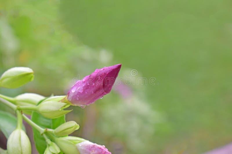 Les belles fleurs roses naturelles commencent à fleurir et sembler fraîches photos libres de droits