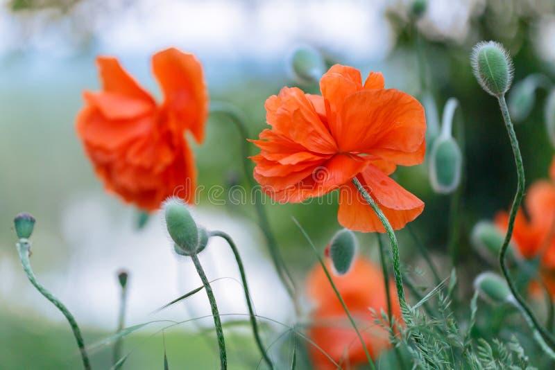 Les belles grandes fleurs de pavot se développent dans le pré photos libres de droits