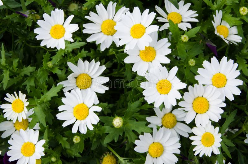 Les belles marguerites blanches et jaunes fleurit chez Sydney Centennial Park images libres de droits