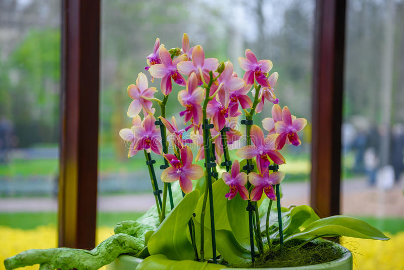 orchidee hollande