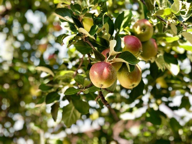 Les belles pommes viennent à la maturité photos libres de droits