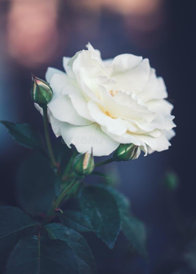 Les belles roses crémeuses beiges blanches magiques rêveuses féeriques fleurit sur le fond vert-bleu trouble fané image stock