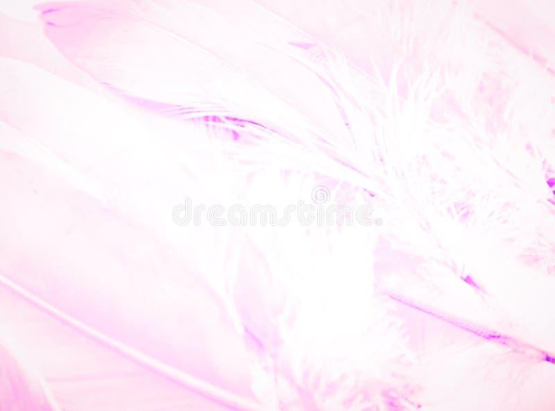 Les belles textures soustraient les plumes pourpres de couleur et roses blanches fond et papier peint image libre de droits