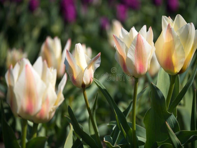 Les belles tulipes roses mettent en place au printemps le temps avec la lumière du soleil, florale image stock