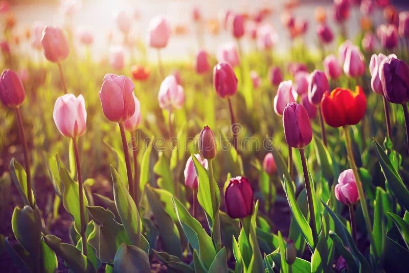 Les belles tulipes se développent dans la clairière photo stock