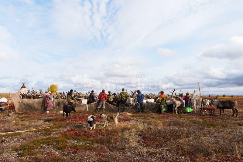 Les bergers de nomade mènent des rennes au camp annuel de vaccination photos libres de droits