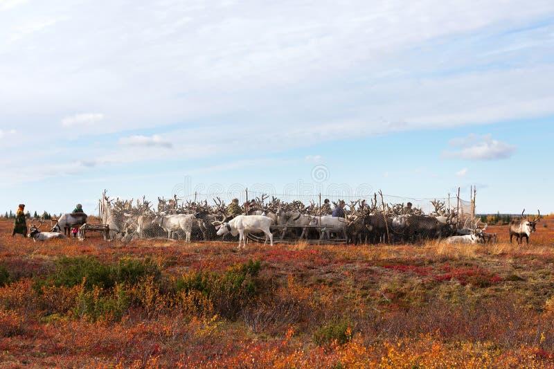 Les bergers de nomade mènent des rennes au camp annuel de vaccination photographie stock