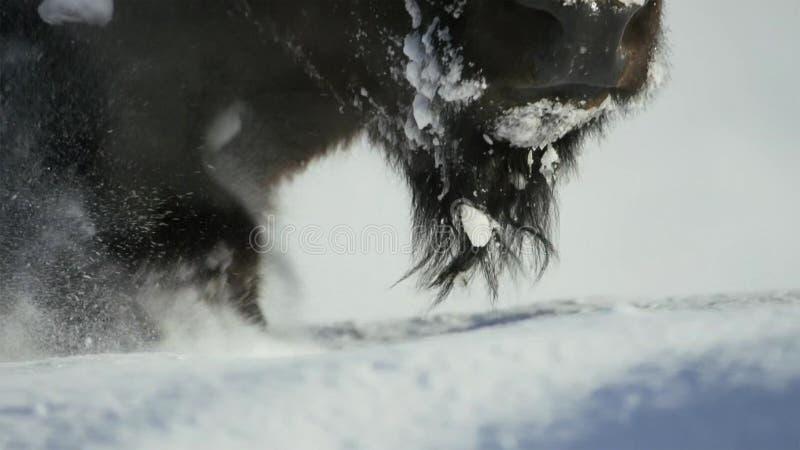 Les bisons cherchent l'herbe est profond sous la neige Leurs manteaux épais peuvent les isoler vers le bas à -20 Fahrenheit photos stock