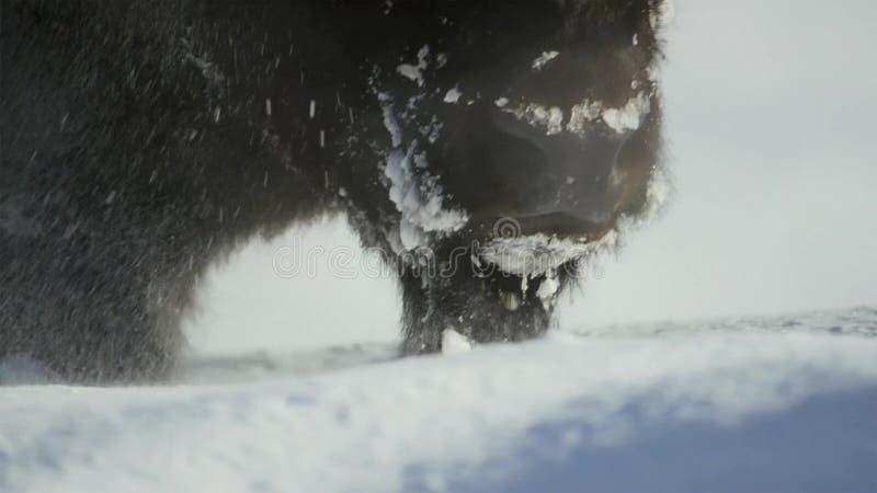 Les bisons cherchent l'herbe est profond sous la neige Leurs manteaux épais peuvent les isoler vers le bas à -20 Fahrenheit image libre de droits