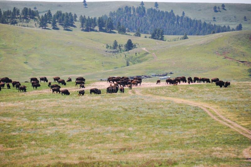 Les bisons dans la faune font une boucle, le Dakota du Sud, Etats-Unis photographie stock libre de droits