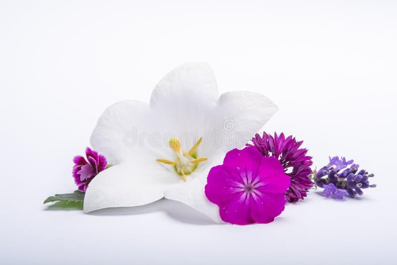 Les bleuets blancs de fleur et de rose de cloche se ferment, d'isolement sur le fond blanc images libres de droits