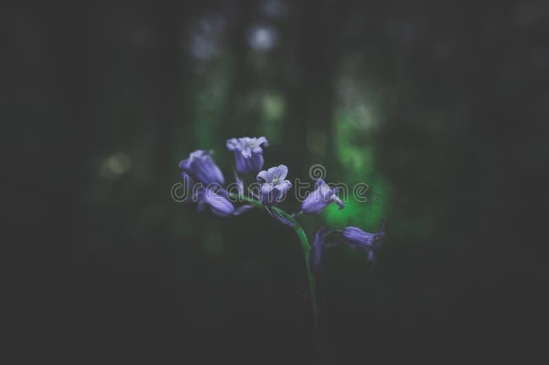 Les Bluebells De Printemps Avec Une Forêt Sombre En Arrière-Plan photographie stock