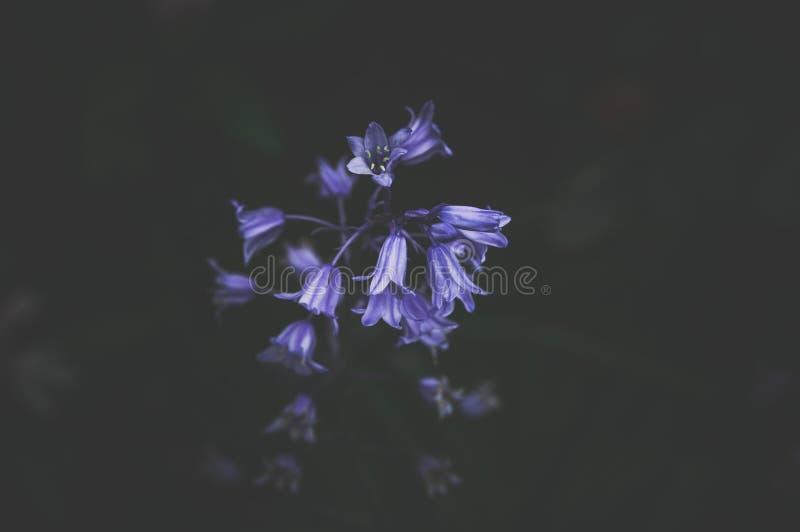 Les Bluebells De Printemps Avec Une Forêt Sombre En Arrière-Plan images stock