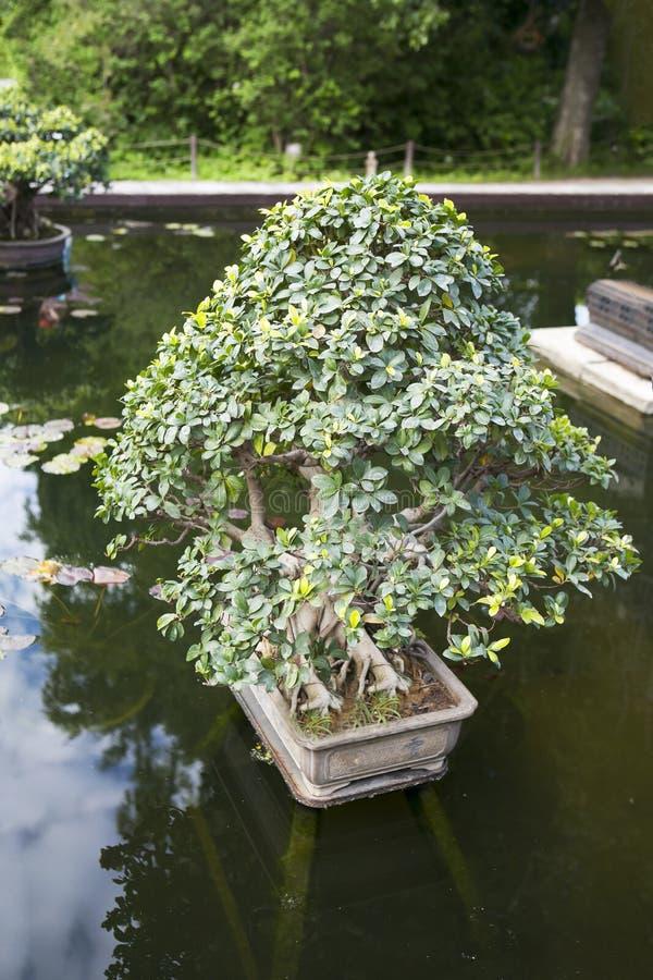 Les bonsaïs de ficus dans un baquet au milieu de l'étang comme décoration de parc photo stock