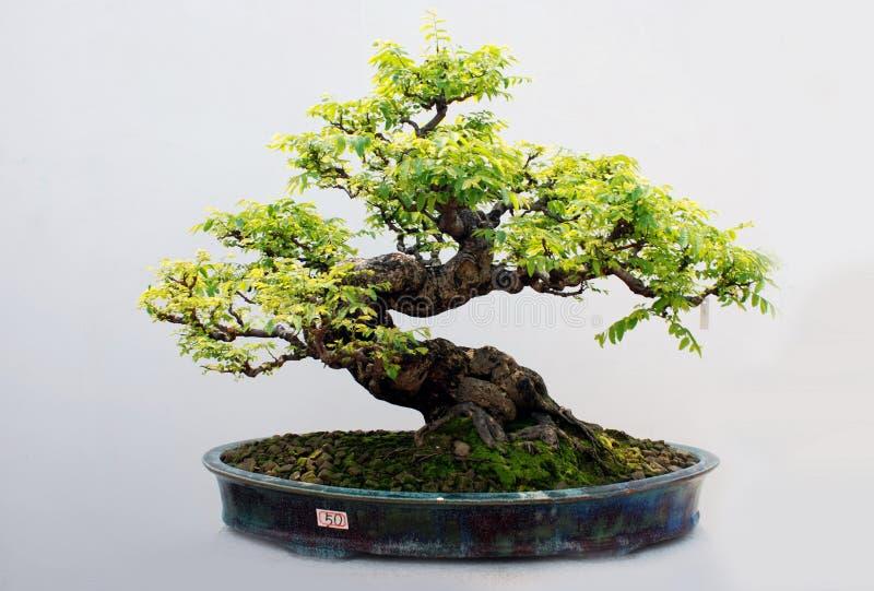 Les bonzaies de l'arbre de carambolier images libres de droits