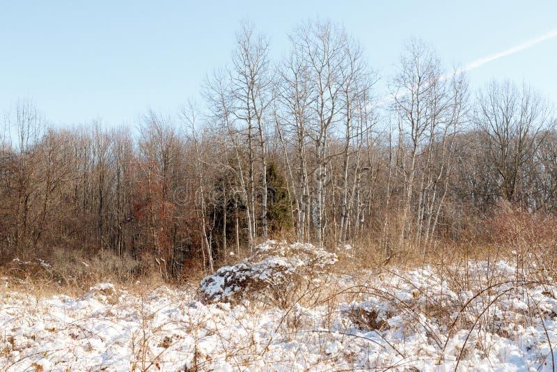 Les bouleaux d'écorce blanche dans les bois d'hiver photographie stock libre de droits