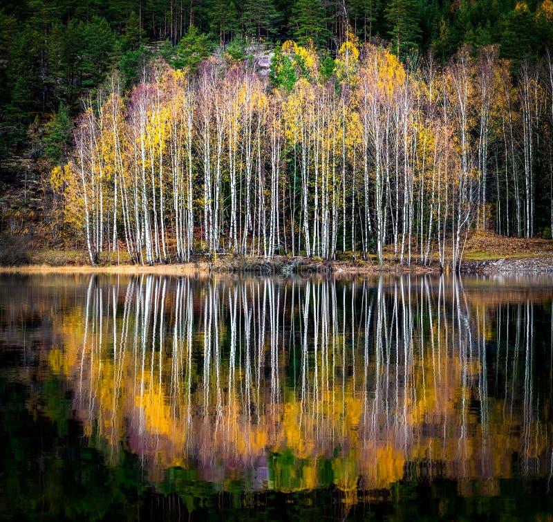 Les bouleaux se reflètent dans une eau calme image stock
