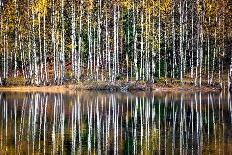 Les bouleaux se reflètent dans une eau calme photos stock