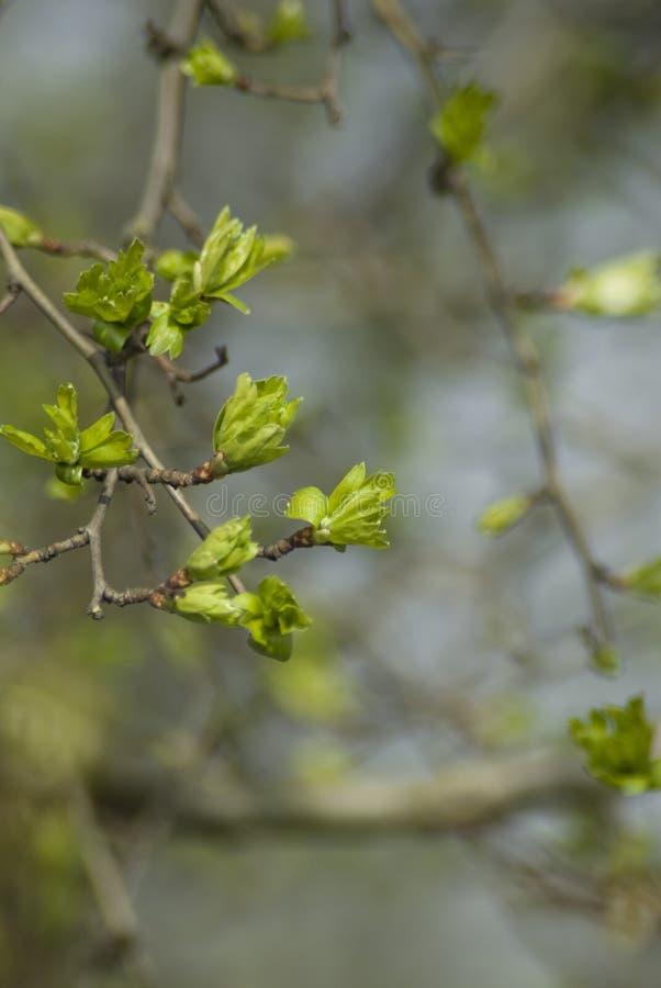 Les bourgeons d'aubépine s'ouvrent photos libres de droits