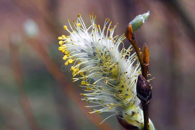 Les bourgeons de saule fleurissent dans les arbres images libres de droits