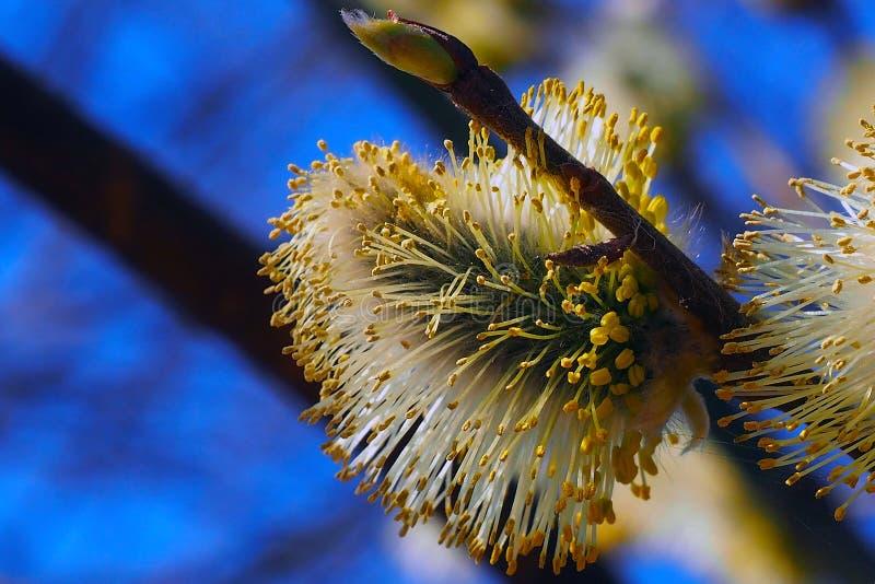 Les bourgeons de saule fleurissent dans les arbres images stock