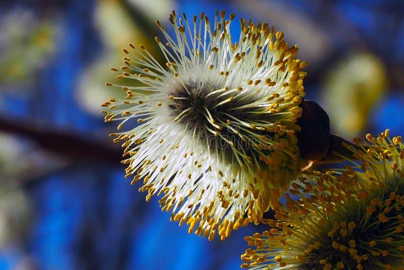 Les bourgeons de saule fleurissent dans les arbres photo libre de droits