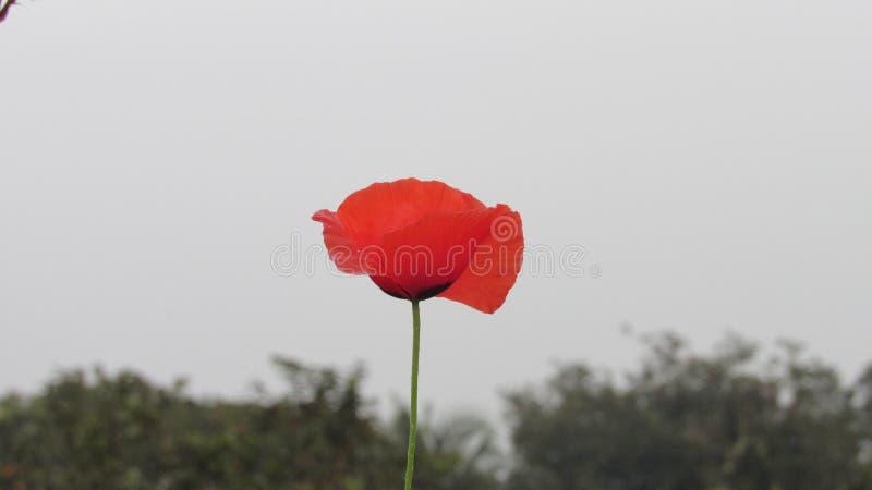 les bourgeons rouges de jardin de groupe de fleur de pavot avec le beau ciel bleu opacifient photos stock